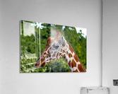 Reticulated Giraffe 1  Acrylic Print