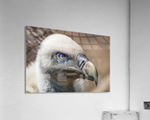 Buzzard  Acrylic Print