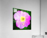 lady bug flower  Acrylic Print