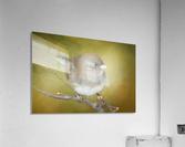 Dark Eyed Junco with Texture  Acrylic Print