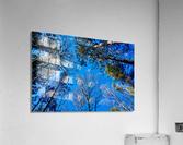 Towering Trees Bright Blue Sky  Acrylic Print