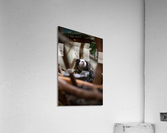 Through The Trees  Marmoset   Acrylic Print