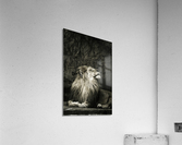 Chill of the Day  Lion   Acrylic Print