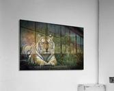 Next Strike  Tiger   Acrylic Print