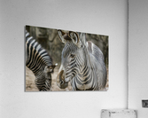 Stripes  Zebra   Acrylic Print