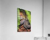 Soaking up Shade   Rattle Snake   Acrylic Print