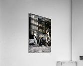 Posing for the Camera  Penguin   Acrylic Print