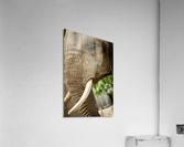 Wrinkles  Elephant   Acrylic Print