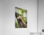 Spots Under Shadows  Giraffes   Acrylic Print
