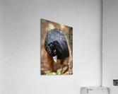 Whats This  Curassow   Acrylic Print