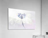 Anemone blanda  Acrylic Print