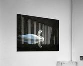 Trumpeter Swan at Estuary  Acrylic Print