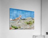 Killdeer on the Beach  Acrylic Print