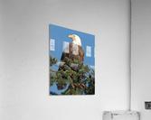 Bald Eagle at Herring Season   Acrylic Print