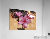 Pink Plumeria  Acrylic Print