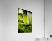 Rain Drops and Hosta Leaves  Acrylic Print