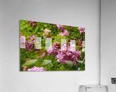 Rose Acacia Blossoms  Acrylic Print