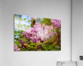 Rose Acacia   Acrylic Print