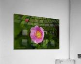 Nootka Rose  Acrylic Print