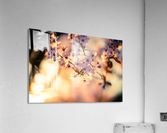 Beautiful Spring cherry flowers  Acrylic Print