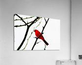 Cardinal Male  Acrylic Print