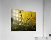 A golden morning shower  Acrylic Print