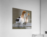 Love crossing ...  Acrylic Print