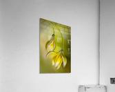 Tulipa  Acrylic Print