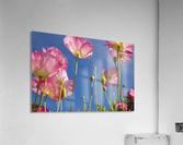 Shirley Poppies (Papaver Rhoeas), Oregon, Usa  Acrylic Print