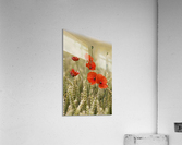 Wildflowers; Poppies In A Grain Field  Acrylic Print