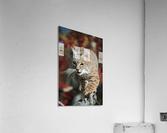 Bobcat (Felis Rufus) Walks Along Branch Through Red Leaves Of A Hawthorn In Autumn; Idaho, Usa  Acrylic Print