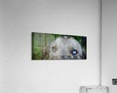 Blue Eyed Dog  Impression acrylique