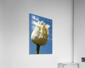 A White Tulip Against A Blue Sky; Northumberland, England  Acrylic Print