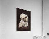 Shih Tzu-Poodle On A Brown Muslin Backdrop  Acrylic Print