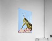 Grasshopper Close-Up.  Acrylic Print