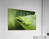A Pacific Tree Frog (Pseudacris regilla) rests on a Wapato Leaf; Astoria, Oregon, United States of America  Acrylic Print