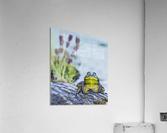 Bull frog (rana catesbeiana) resting on a log beside a lake; Ontario, Canada  Acrylic Print