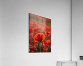 Common Poppy (Papaver rhoeas) covering an arable field; North Yorkshire, England  Acrylic Print