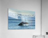 Humpback whale (Megaptera novaeangliae) in Seward harbour; Seward, Alaska, United States of America  Acrylic Print