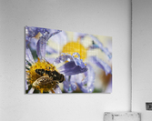 A Fly Rests On Aster Blossoms; Astoria, Oregon, United States Of America  Acrylic Print