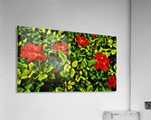 roselooking  Acrylic Print