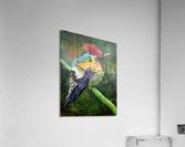 Tufted Coquette Hummingbird  Acrylic Print
