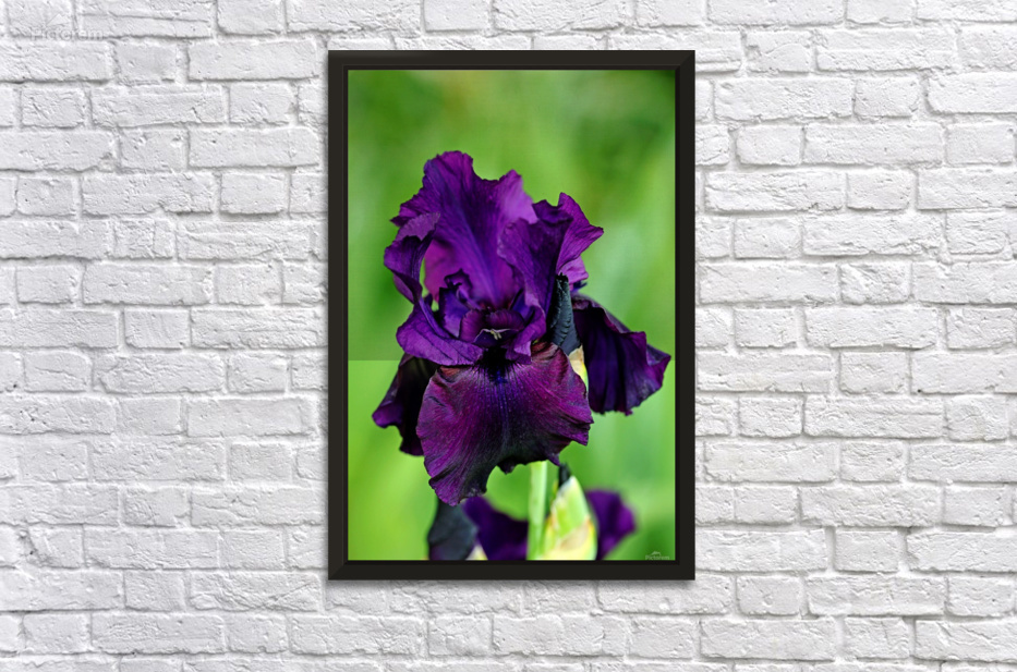 Deep Purple Iris Deb Oppermann