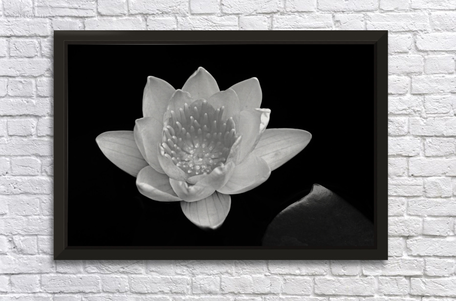 Water Lily In Black And White Deb Oppermann
