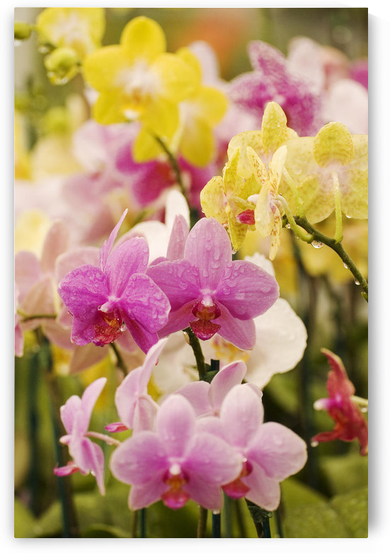Hawaii, Field Of Pink And Yellow Orchids. by PacificStock