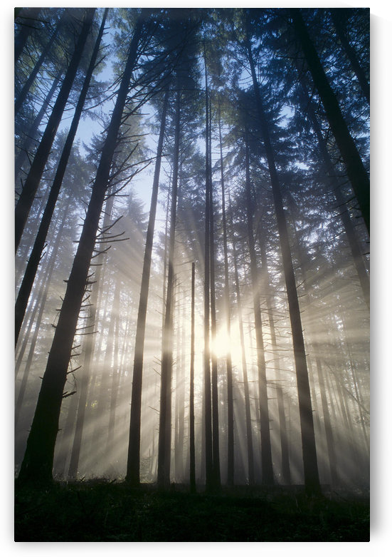Oregon, Eugene, Spencer Butte Park, Fog, Sunburst, Trees In Forest A25H by PacificStock