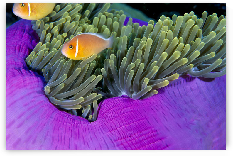 Palau, Anemonefish In Pink Anemone (Amphiprion Perideraion) B1952 by PacificStock