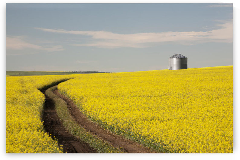Flowering Canola With Grain Bins In The Background And Tractor Tracks In The Field; Alberta, Canada by PacificStock
