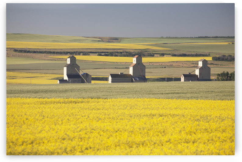 Three Old Wooden Grain Elevators At Sunrise With Flowering Canola Fields In The Foreground And Background; Mosleigh, Alberta, Canada by PacificStock