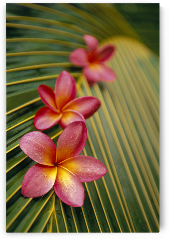 Close-Up Three Pink Plumeria Flowers On Coconut Palm Leaf Selective Focus by PacificStock